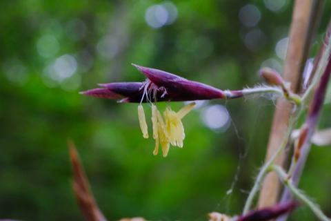 スズタケの花