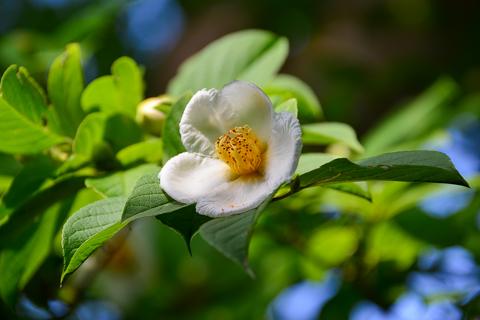 沙羅の花と一絃琴の鑑賞会