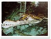 False Gavial